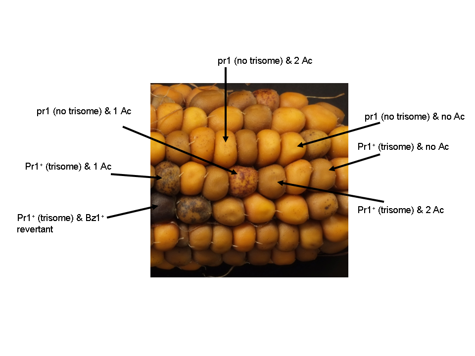ac element. ear of a maize plant with kernels homozygous for bz1-m2(di)::ds (except germinal revertant pictured) and segregating two different ac elements element d